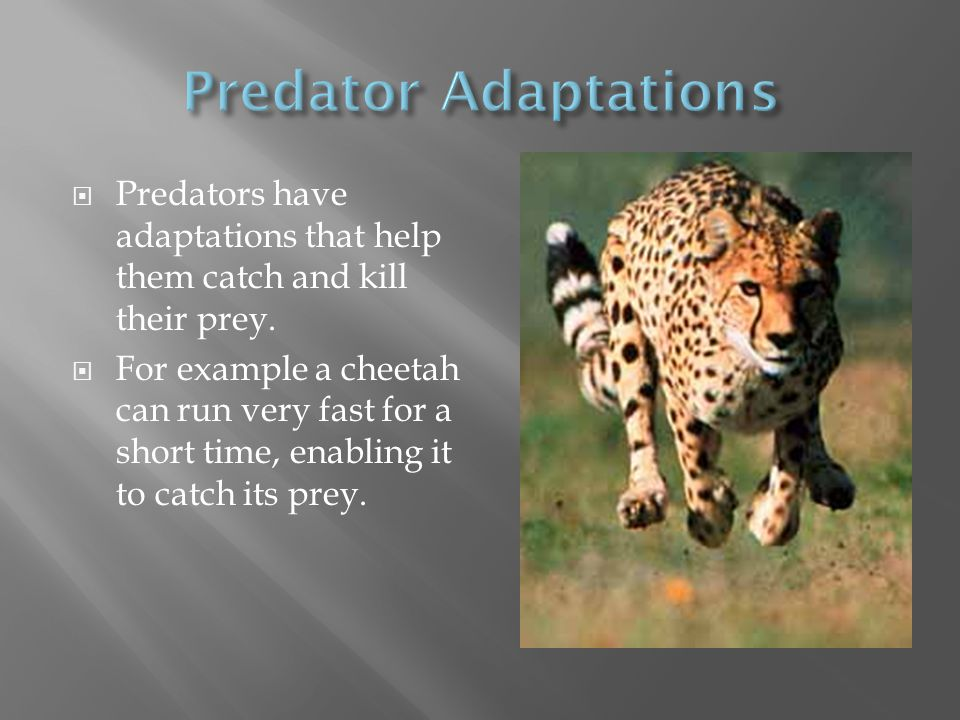 Predator Adaptations Predators have adaptations that help them catch and kill their prey.