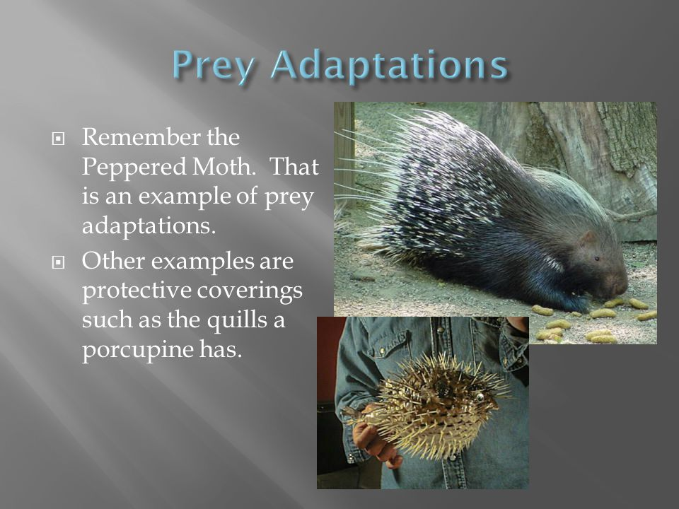 Prey Adaptations Remember the Peppered Moth. That is an example of prey adaptations.