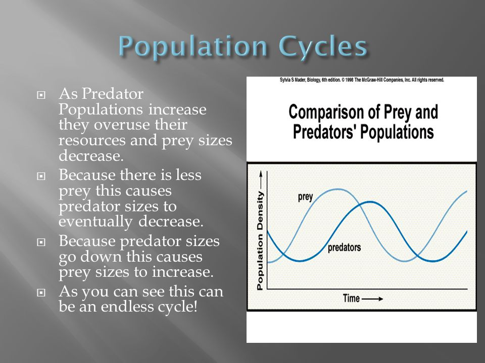 Population Cycles As Predator Populations increase they overuse their resources and prey sizes decrease.