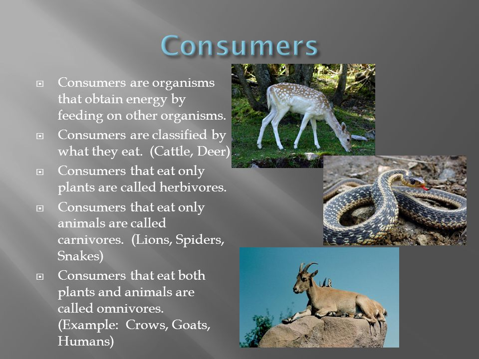 Consumers Consumers are organisms that obtain energy by feeding on other organisms. Consumers are classified by what they eat. (Cattle, Deer)
