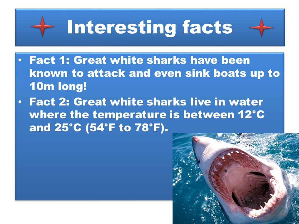 Interesting facts Fact 1: Great white sharks have been known to attack and even sink boats up to 10m long!
