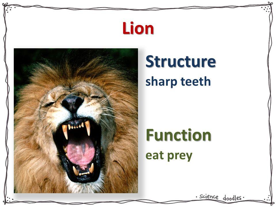 Lion sharp teeth eat prey