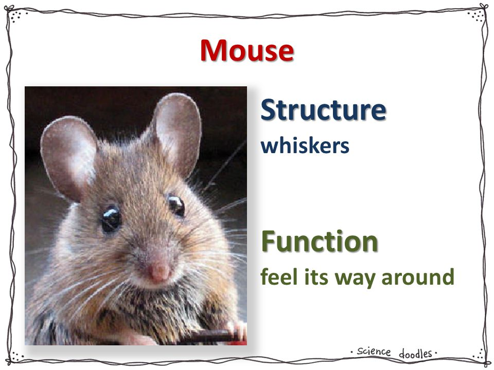 Mouse whiskers feel its way around