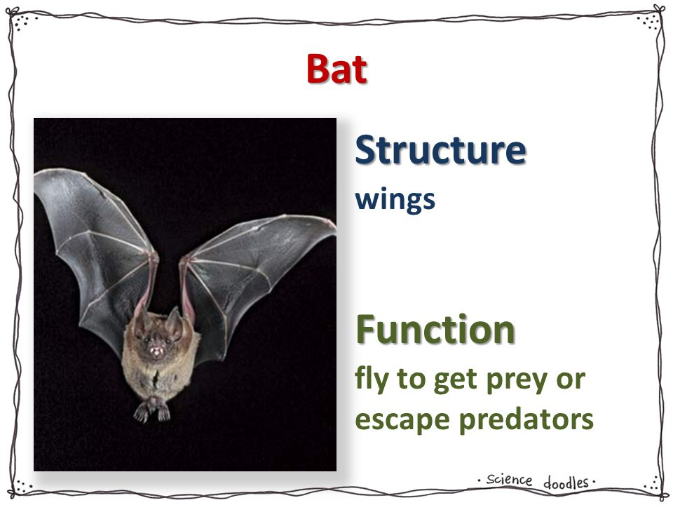 Bat wings fly to get prey or escape predators