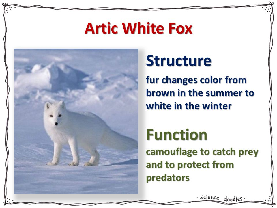 Artic White Fox Structure Function