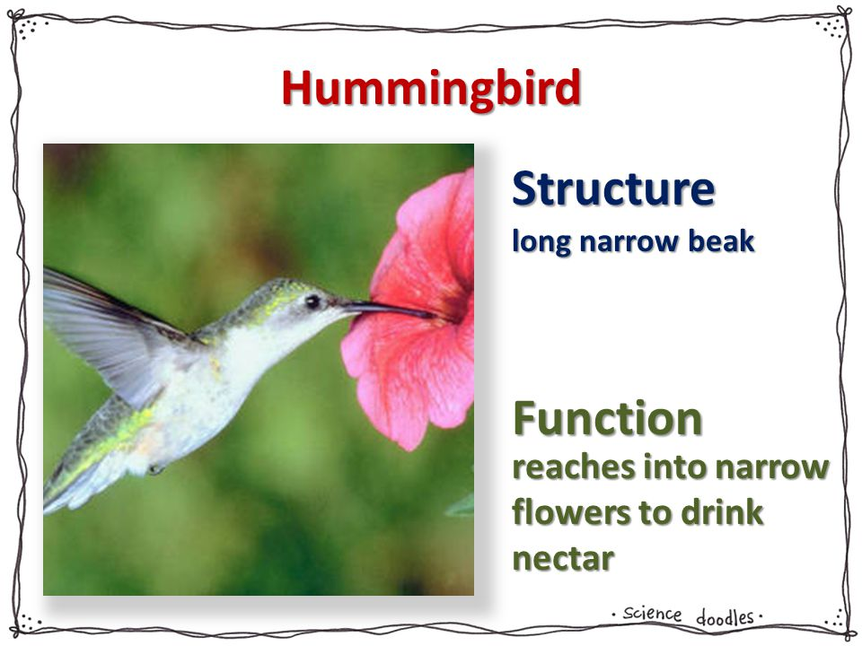 Hummingbird Structure Function