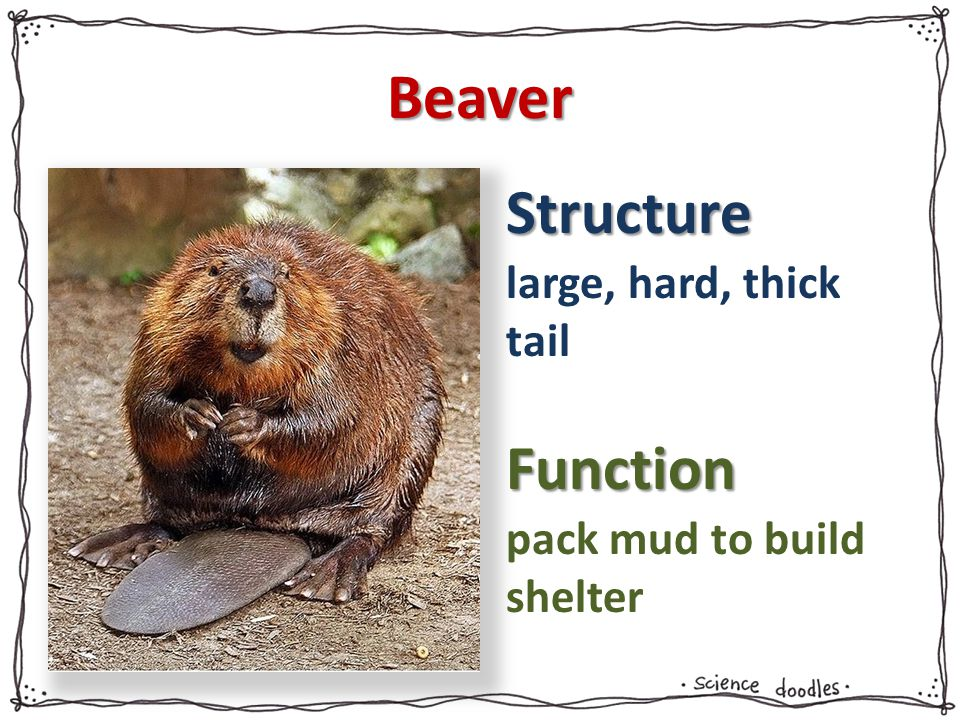 Beaver large, hard, thick tail pack mud to build shelter