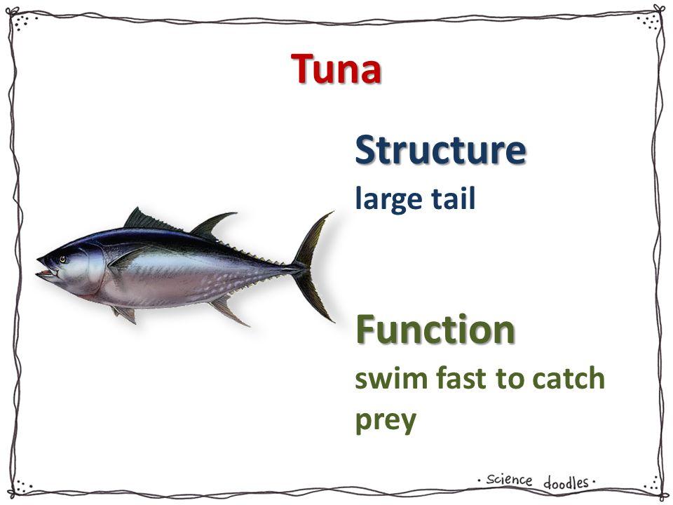 Tuna large tail swim fast to catch prey
