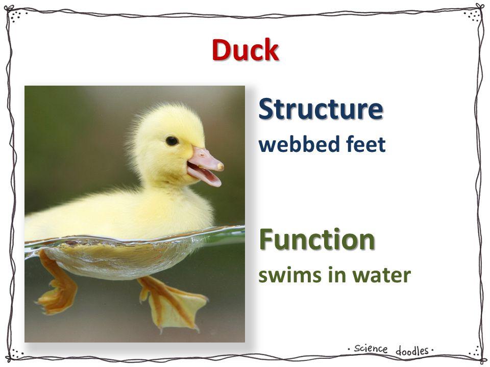 Duck webbed feet swims in water