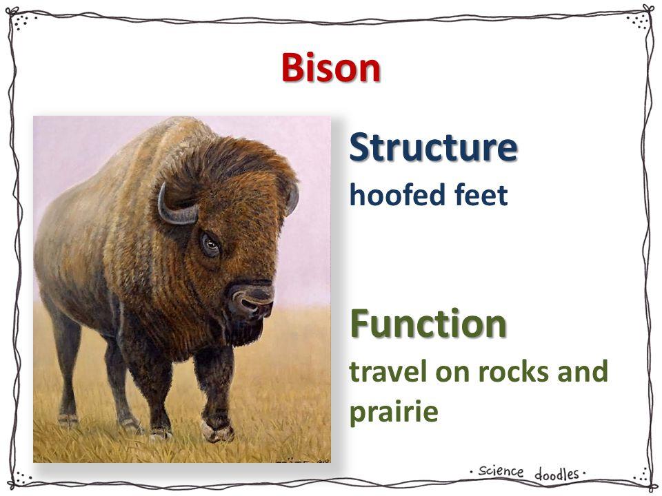 Bison hoofed feet travel on rocks and prairie