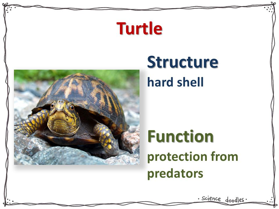 Turtle hard shell protection from predators