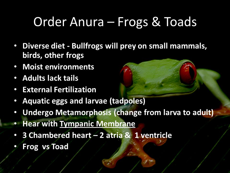 Order Anura – Frogs & Toads