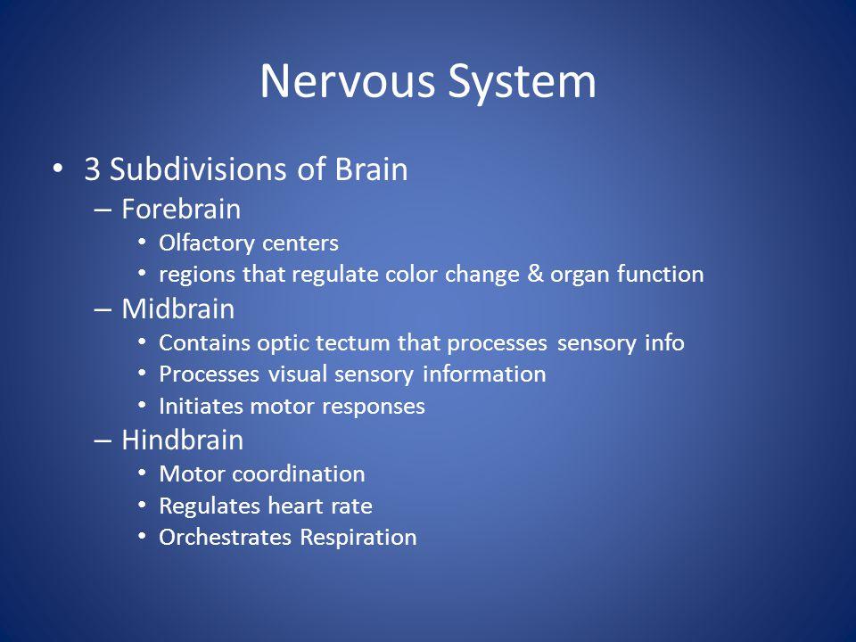 Nervous System 3 Subdivisions of Brain Forebrain Midbrain Hindbrain