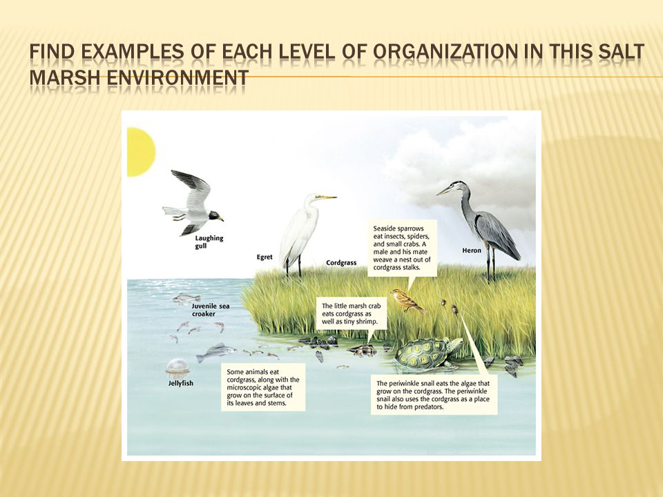 Find examples of each level of organization in this Salt marsh environment
