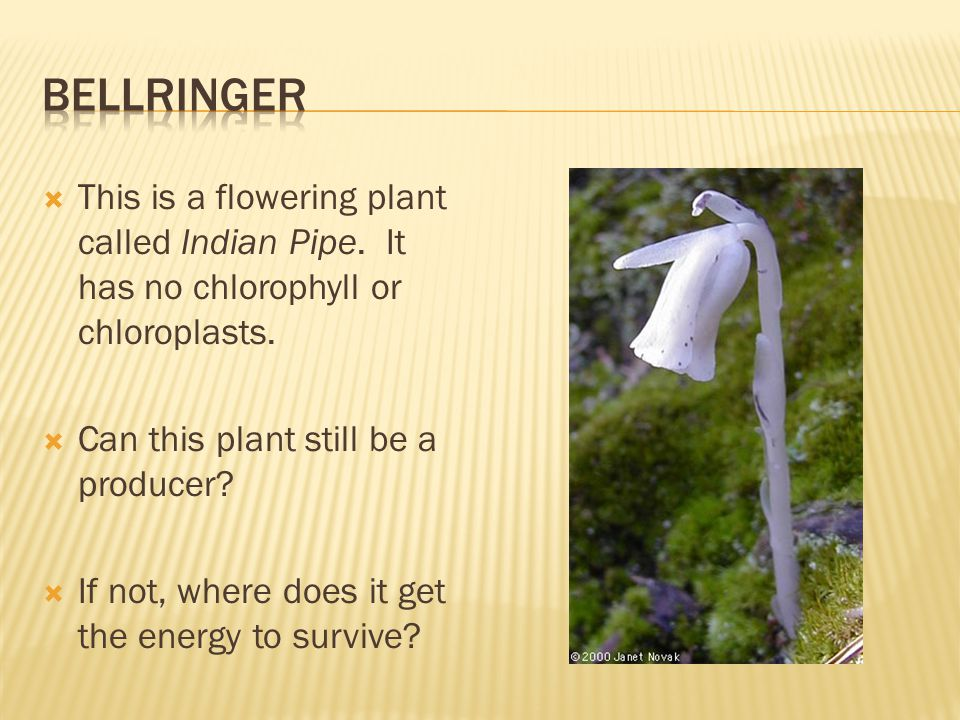 Bellringer This is a flowering plant called Indian Pipe. It has no chlorophyll or chloroplasts. Can this plant still be a producer