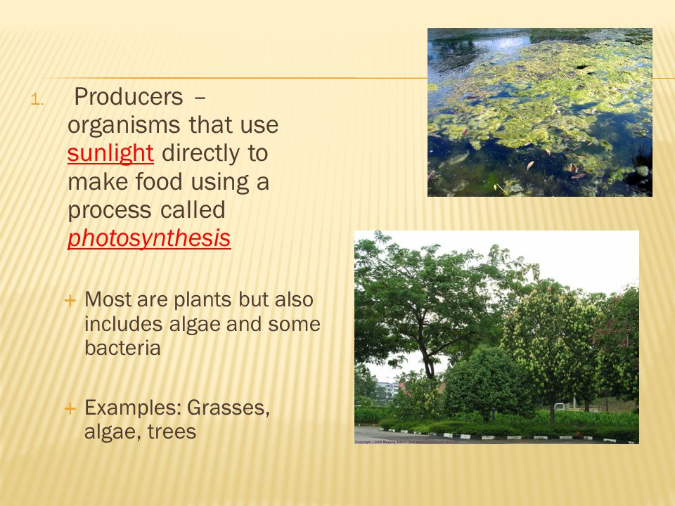 Producers – organisms that use sunlight directly to make food using a process called photosynthesis