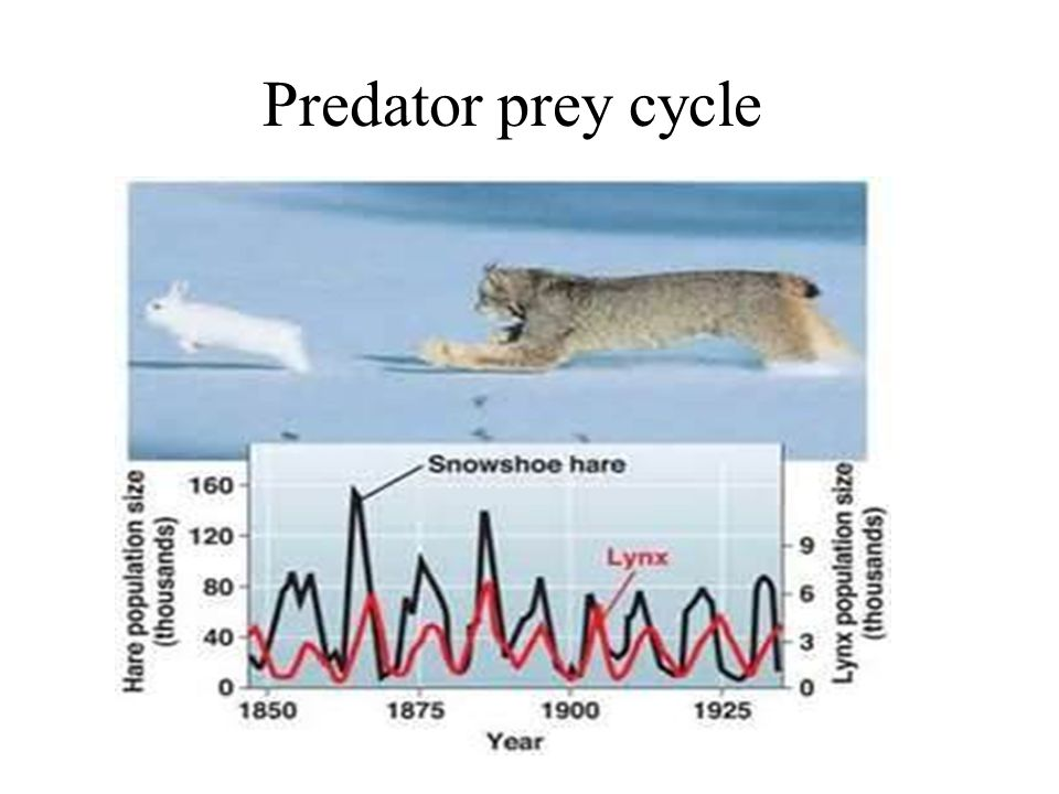 Predator prey cycle