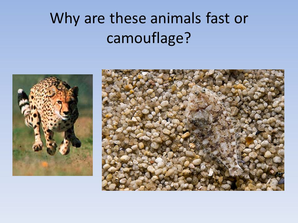 Why are these animals fast or camouflage