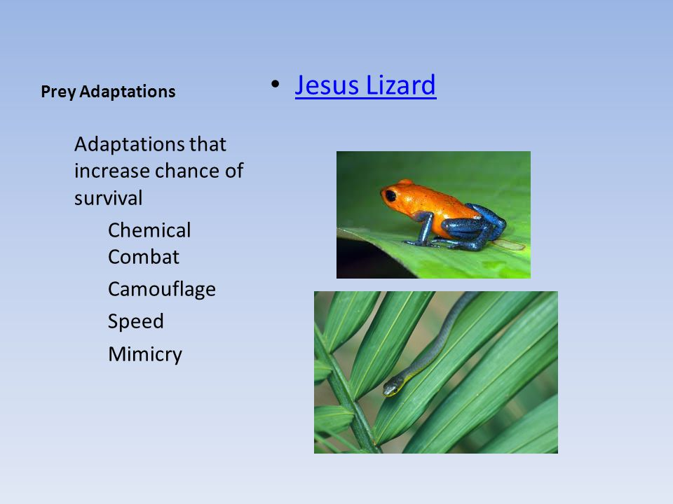 Jesus Lizard Adaptations that increase chance of survival