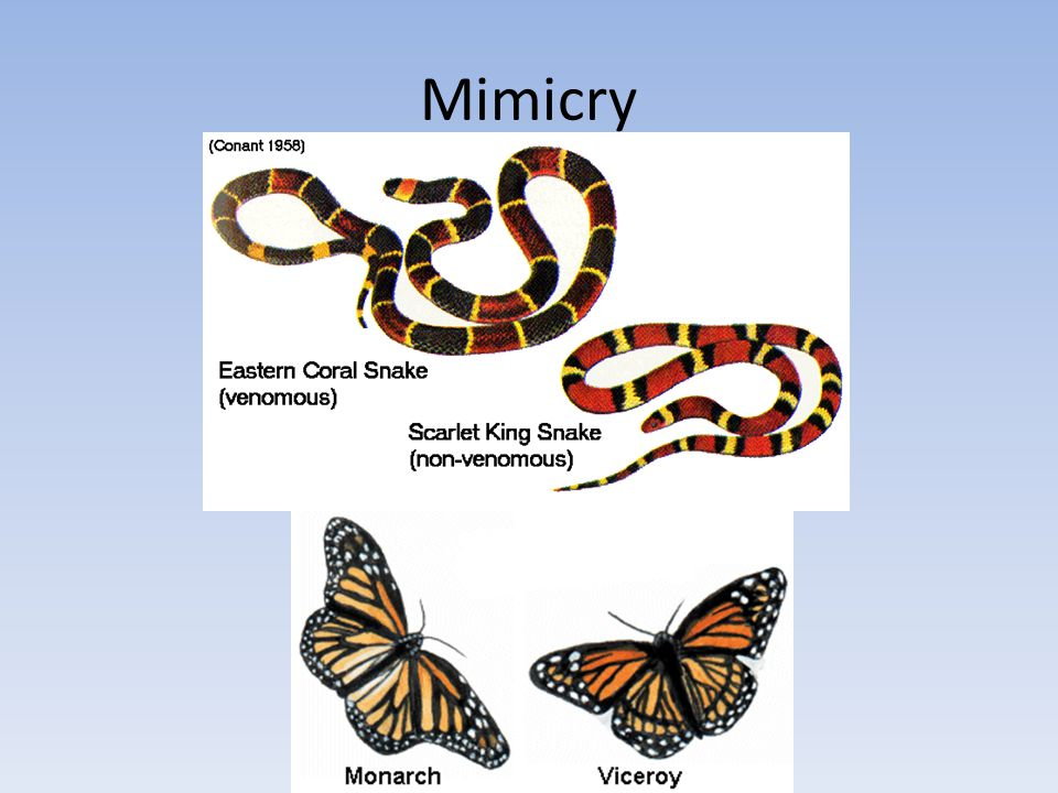 Mimicry What are the differences between the organisms