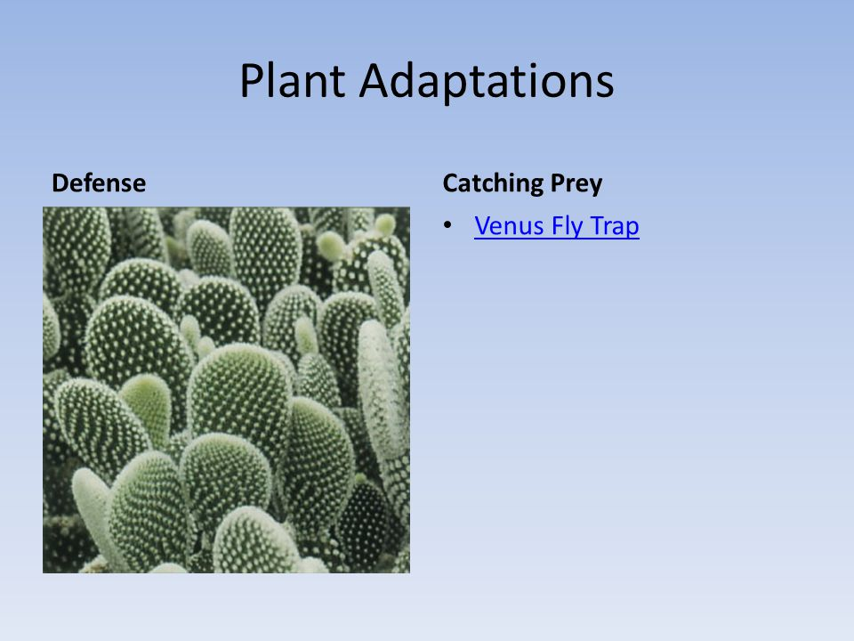 Plant Adaptations Defense Catching Prey Venus Fly Trap