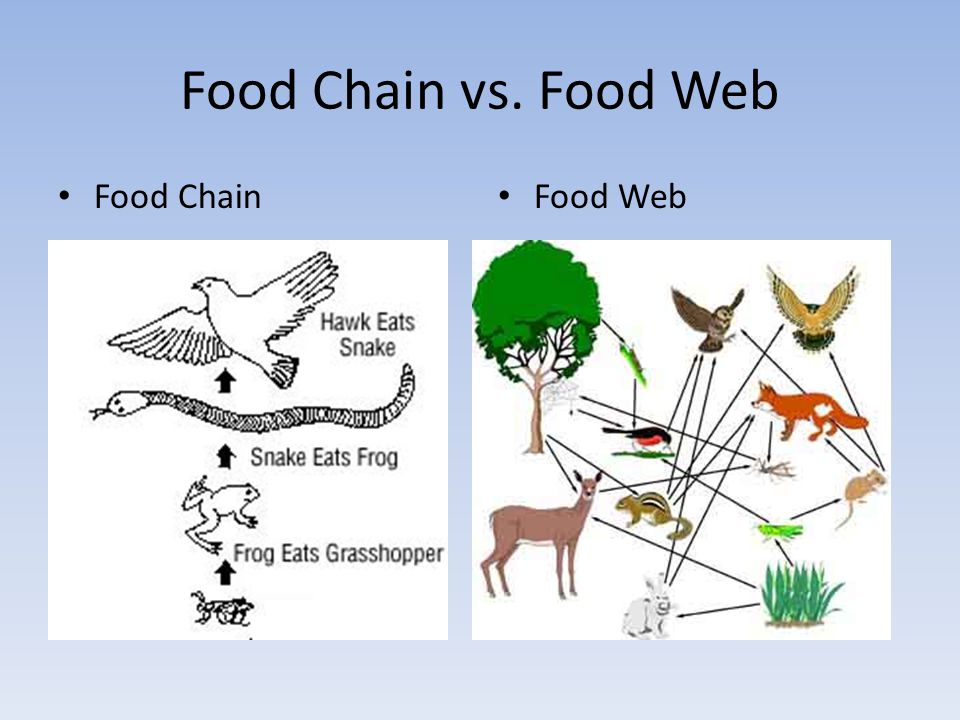 Food Chain vs. Food Web Food Chain Food Web