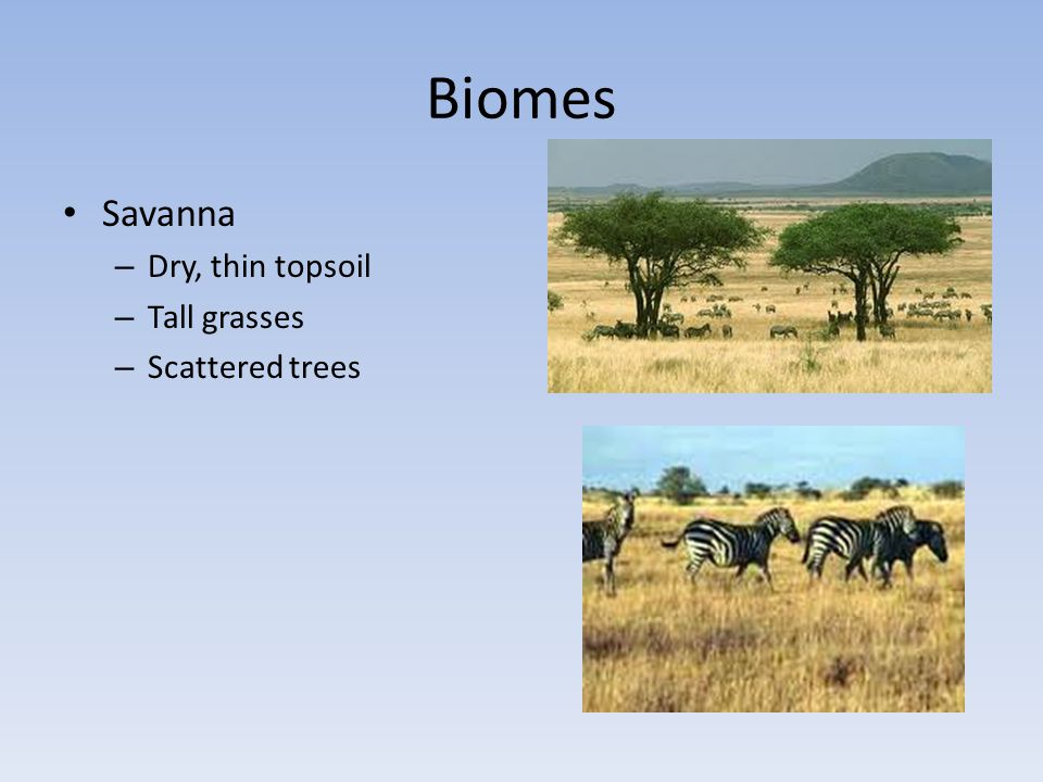 Biomes Savanna Dry, thin topsoil Tall grasses Scattered trees