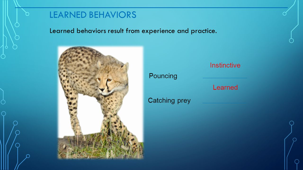 Learned Behaviors Learned behaviors result from experience and practice. Instinctive. Pouncing. Learned.