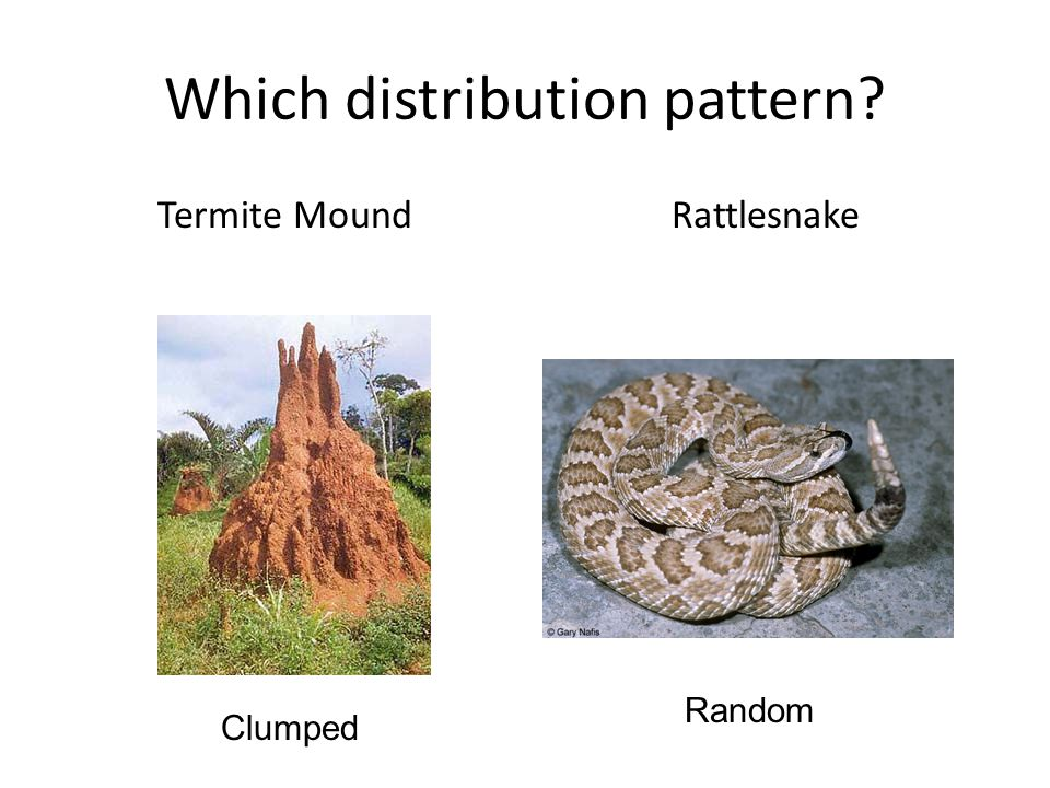 Which distribution pattern