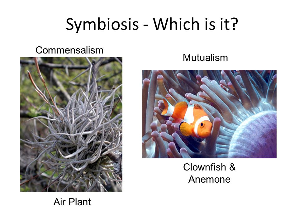 Symbiosis - Which is it Commensalism Mutualism Clownfish & Anemone