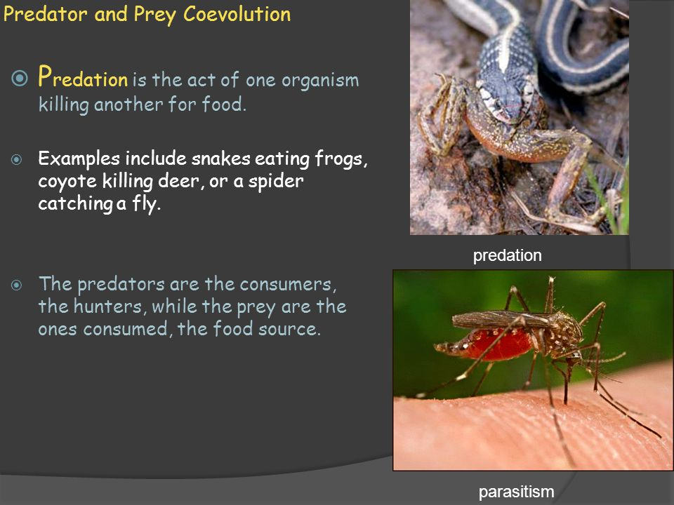 Predator and Prey Coevolution