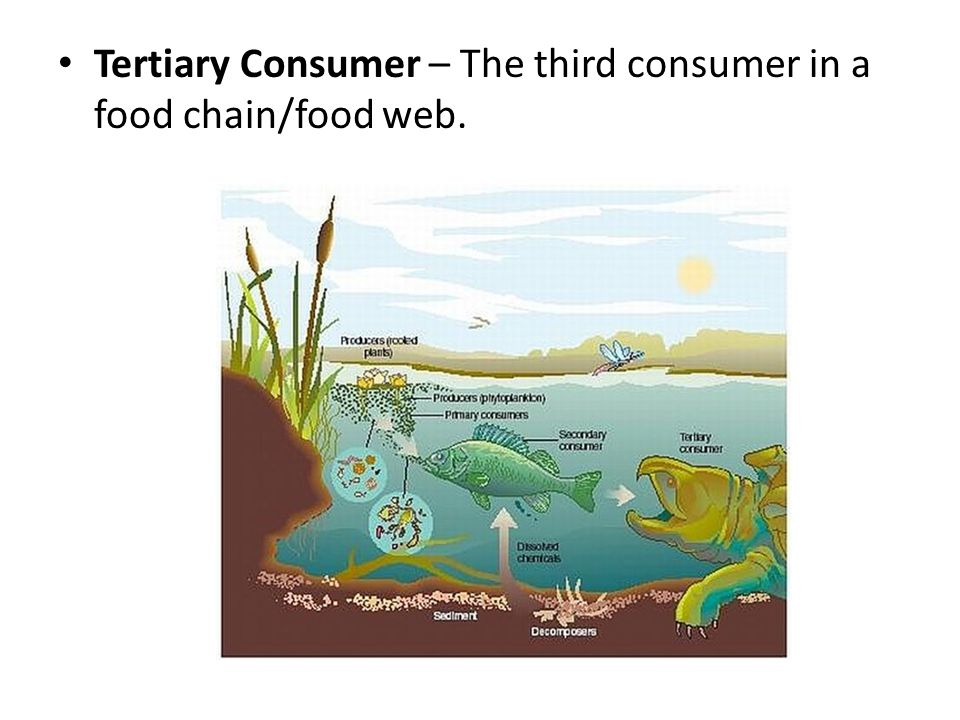 Tertiary Consumer – The third consumer in a food chain/food web.