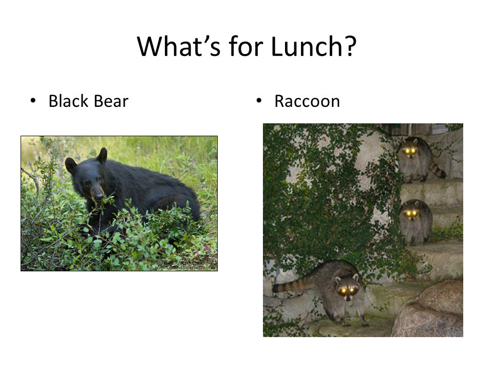What's for Lunch Black Bear Raccoon