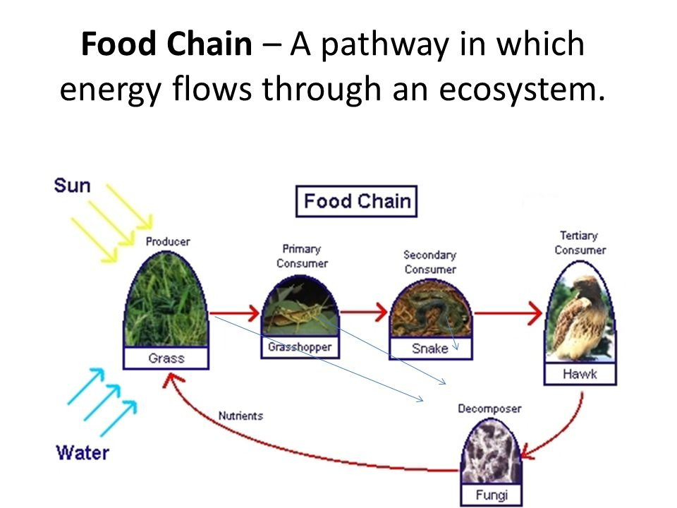 Food Chain – A pathway in which energy flows through an ecosystem.