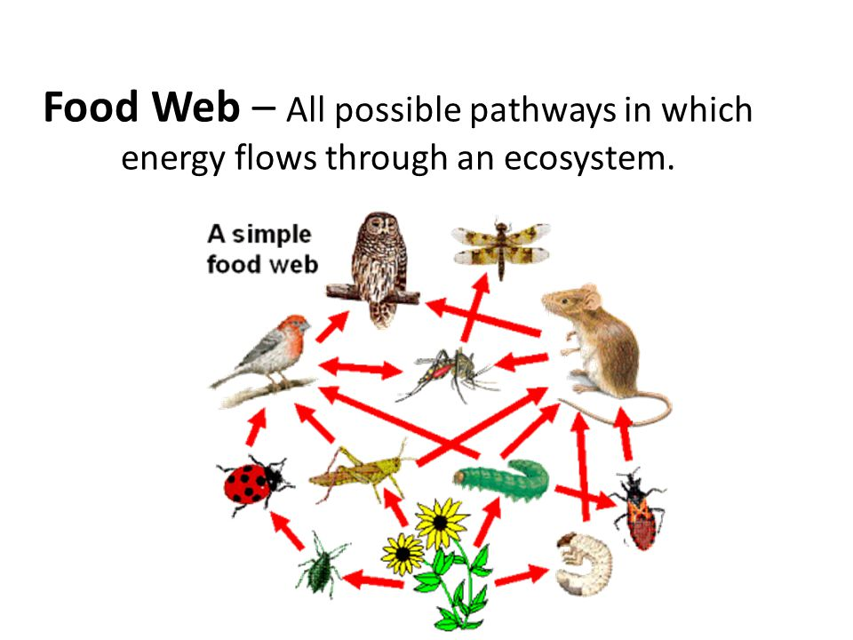 Food Web – All possible pathways in which energy flows through an ecosystem.