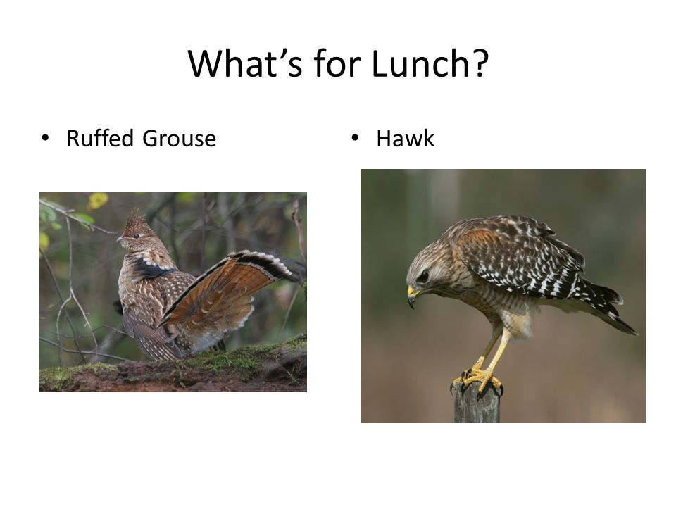 What's for Lunch Ruffed Grouse Hawk