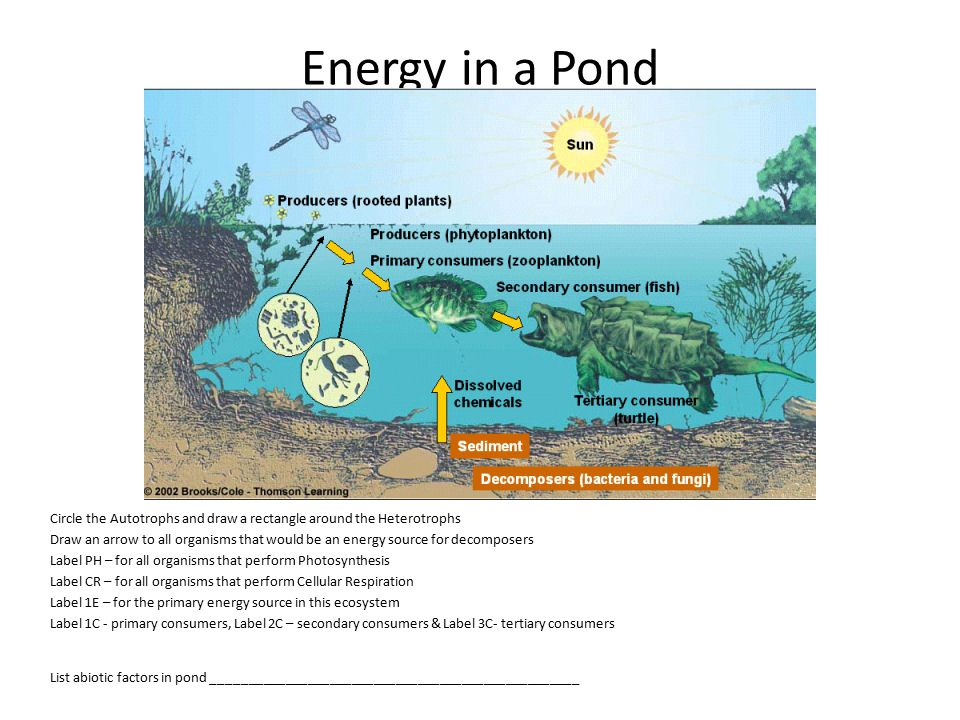 Energy in a Pond Circle the Autotrophs and draw a rectangle around the Heterotrophs.