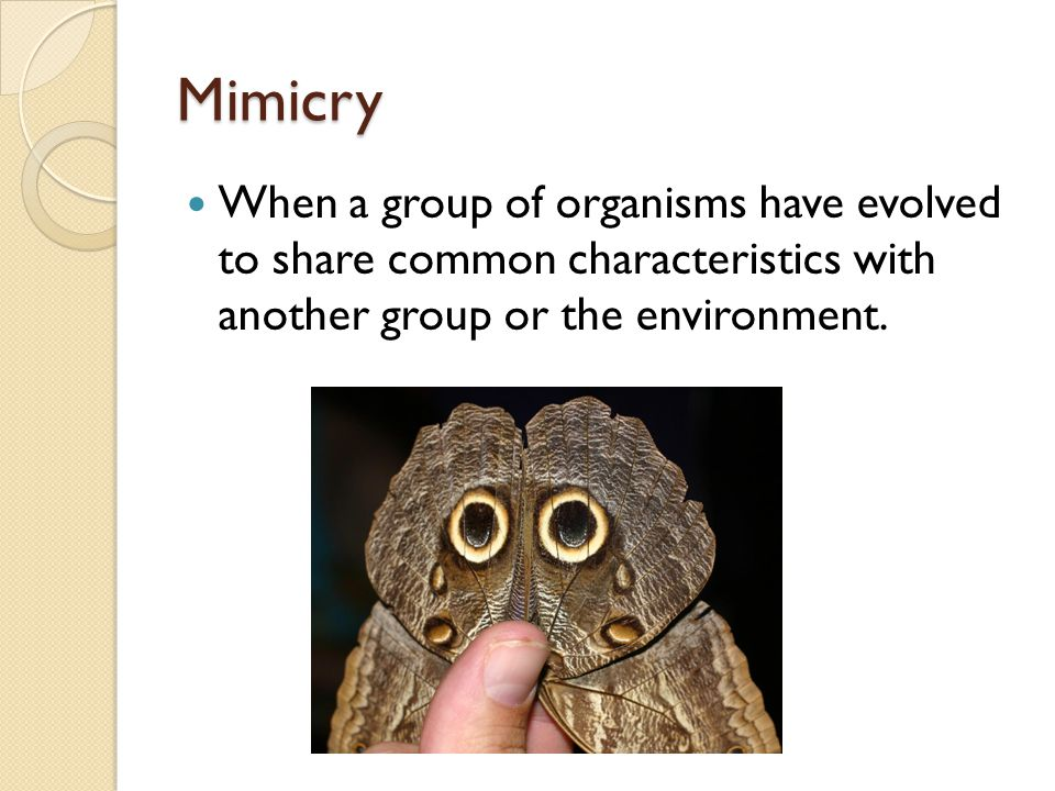 Mimicry When a group of organisms have evolved to share common characteristics with another group or the environment.