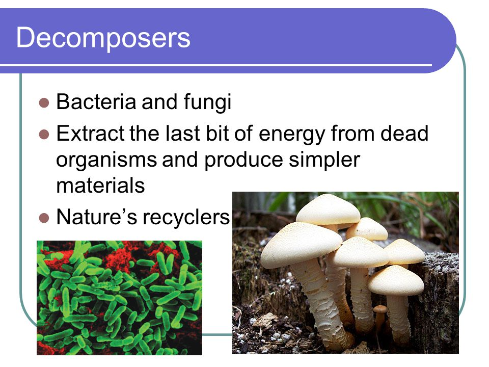 Decomposers Bacteria and fungi