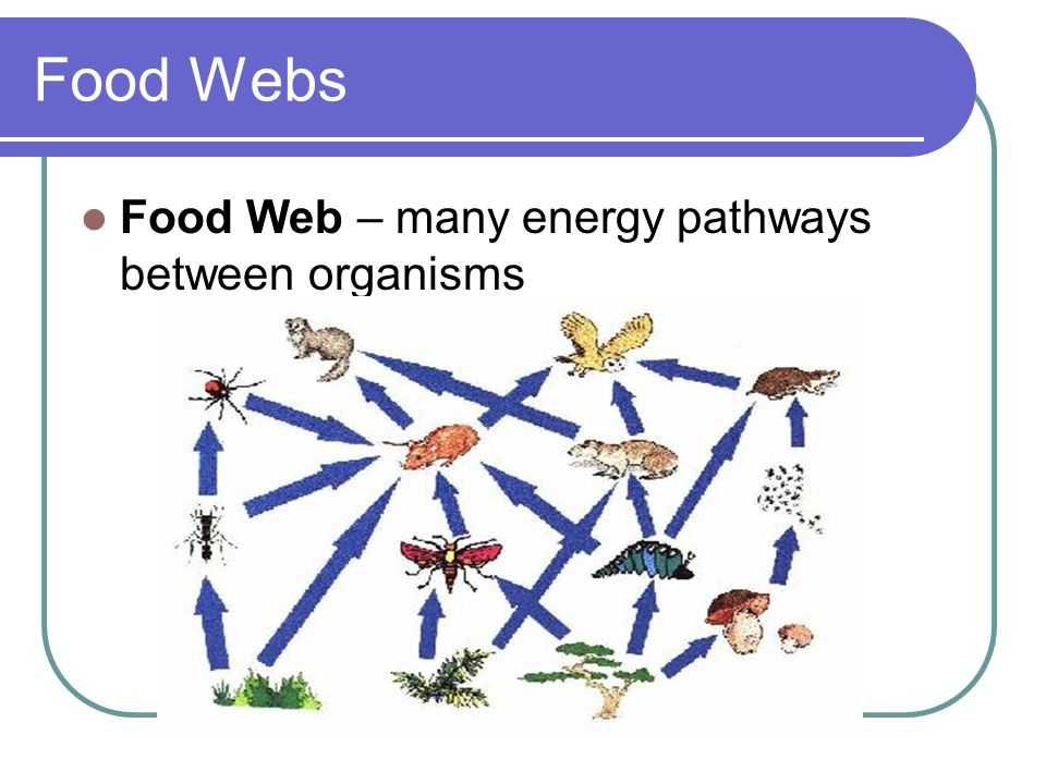 Food Webs Food Web – many energy pathways between organisms