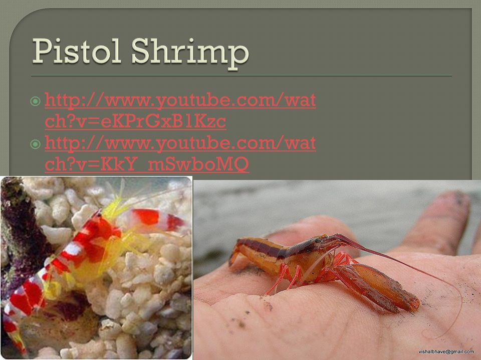 Pistol Shrimp http://www.youtube.com/watch v=eKPrGxB1Kzc