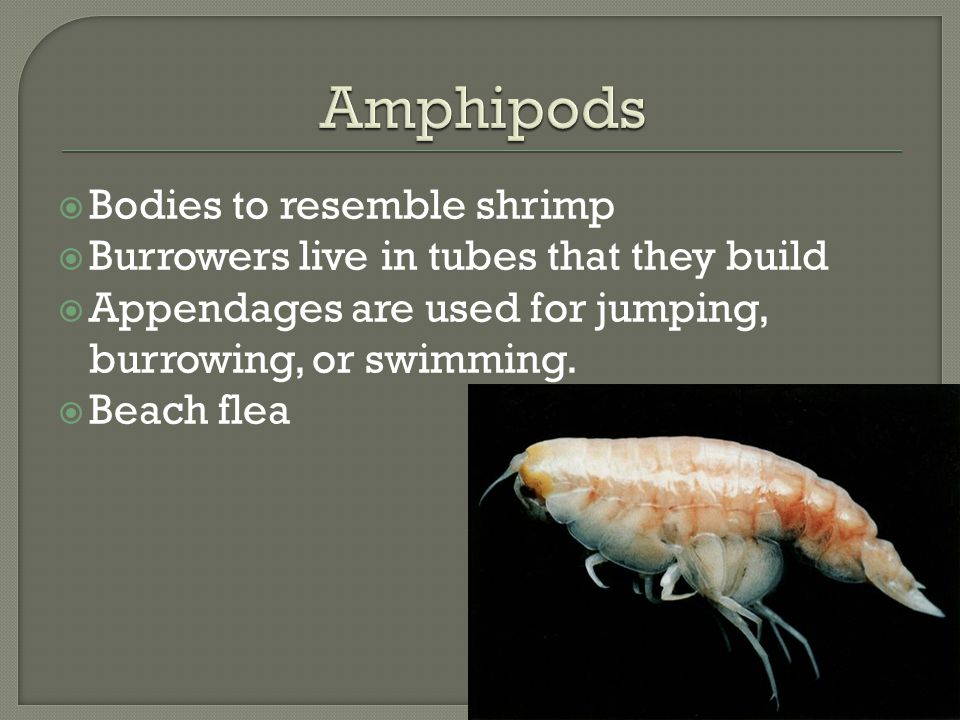 Amphipods Bodies to resemble shrimp