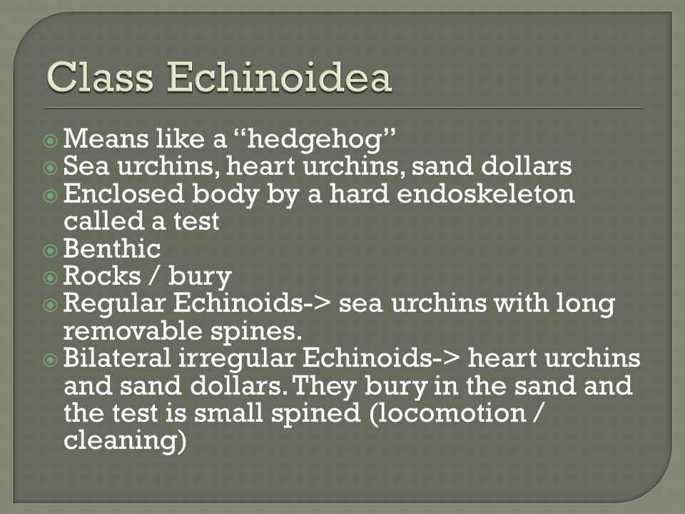 Class Echinoidea Means like a hedgehog