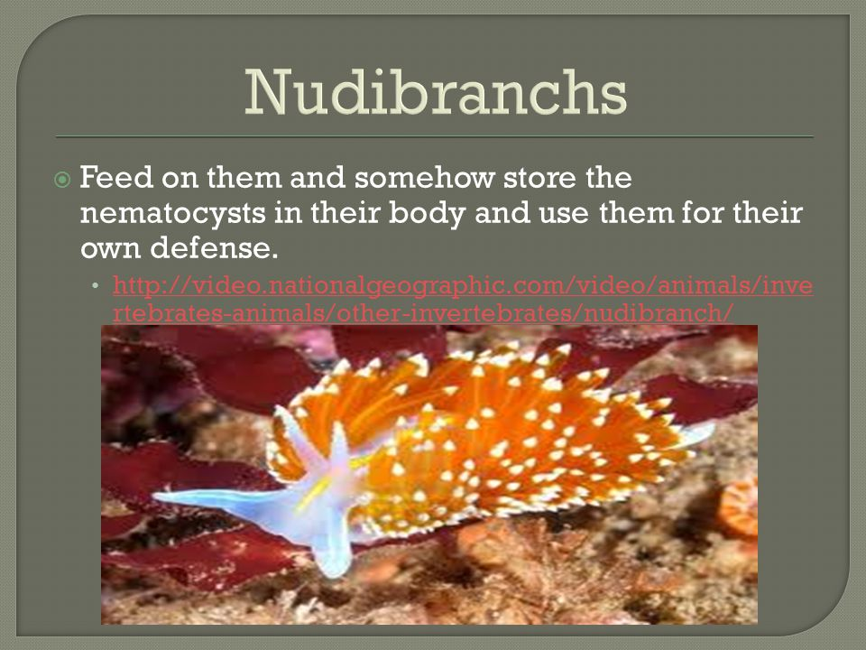 Nudibranchs Feed on them and somehow store the nematocysts in their body and use them for their own defense.