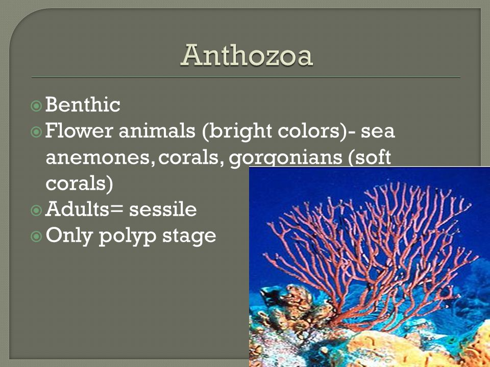 Anthozoa Benthic. Flower animals (bright colors)- sea anemones, corals, gorgonians (soft corals) Adults= sessile.
