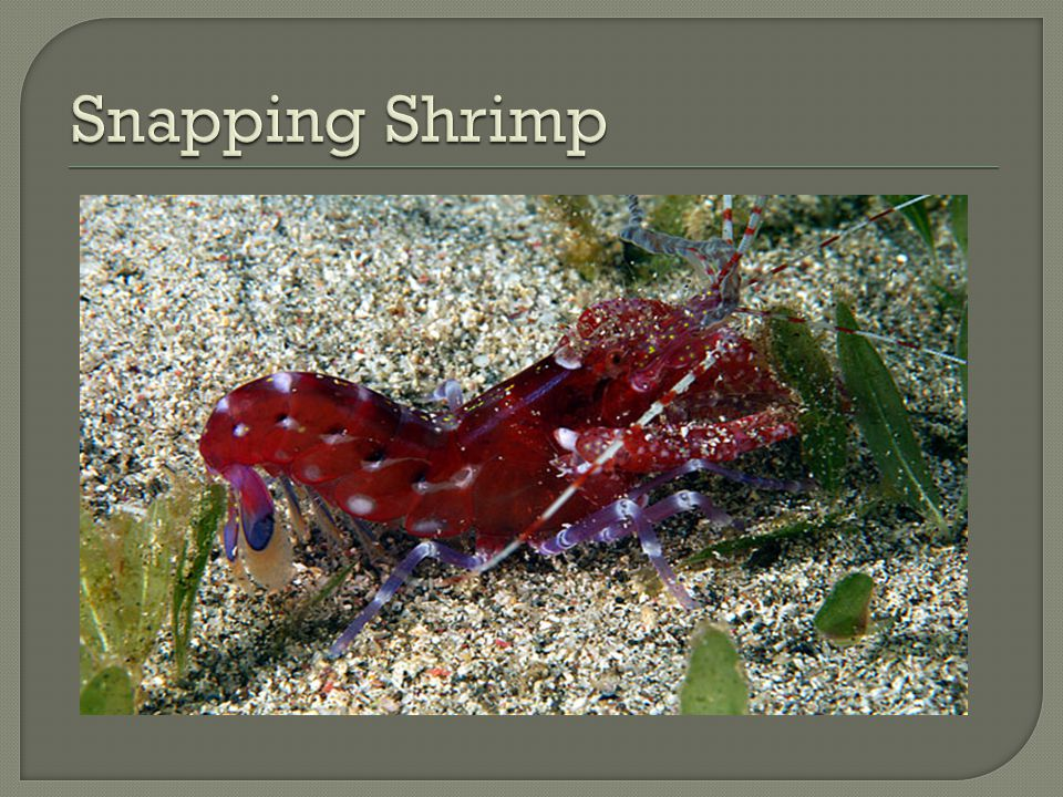 Snapping Shrimp