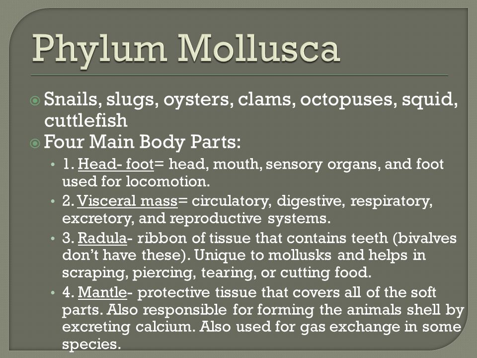 Phylum Mollusca Snails, slugs, oysters, clams, octopuses, squid, cuttlefish. Four Main Body Parts: