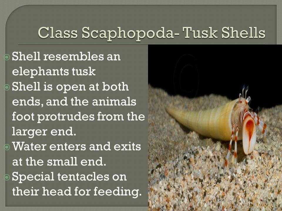 Class Scaphopoda- Tusk Shells