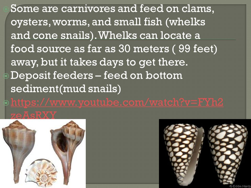 Some are carnivores and feed on clams, oysters, worms, and small fish (whelks and cone snails). Whelks can locate a food source as far as 30 meters ( 99 feet) away, but it takes days to get there.