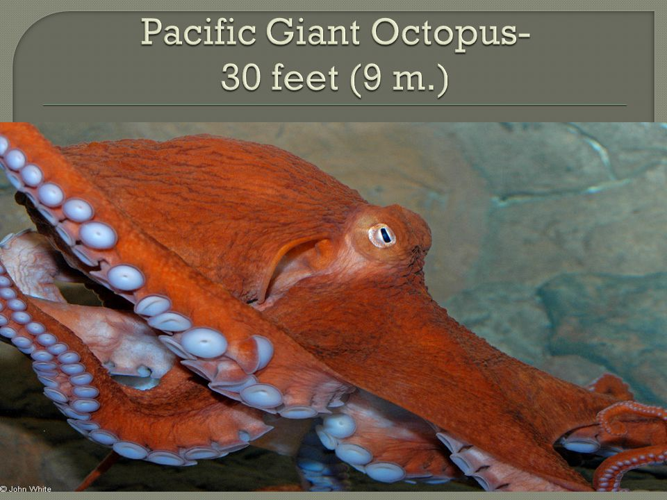 Pacific Giant Octopus- 30 feet (9 m.)
